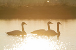 00758-01508 Trumpeter Swans (Cygnus buccinator) in wetland at sunrise, Marion Co., IL
