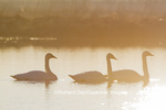 00758-01509 Trumpeter Swans (Cygnus buccinator) in wetland at sunrise, Marion Co., IL