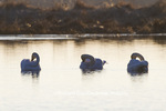 00758-01511 Trumpeter Swans (Cygnus buccinator) in wetland at sunrise, Marion Co., IL