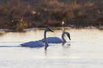 00758-01512 Trumpeter Swans (Cygnus buccinator) in wetland at sunrise, Marion Co., IL