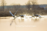 00758-01516 Trumpeter Swans (Cygnus buccinator) flying from wetland at sunrise, Marion Co., IL