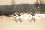 00758-01518 Trumpeter Swans (Cygnus buccinator) flying from wetland at sunrise, Marion Co., IL