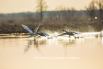 00758-01519 Trumpeter Swans (Cygnus buccinator) flying from wetland at sunrise, Marion Co., IL
