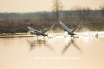 00758-01520 Trumpeter Swans (Cygnus buccinator) flying from wetland at sunrise, Marion Co., IL