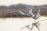 00758-01602 Trumpeter Swans (Cygnus buccinator) flying from wetland at sunrise, Marion Co., IL