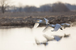 00758-01603 Trumpeter Swans (Cygnus buccinator) flying from wetland at sunrise, Marion Co., IL