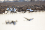00758-01604 Trumpeter Swans (Cygnus buccinator) flying from wetland at sunrise, Marion Co., IL