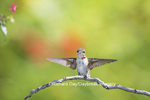 01162-13218 Ruby-throated Hummingbird (Archilochus colubris) in hummingbird garden, Marion Co., IL