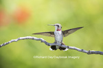 01162-13219 Ruby-throated Hummingbird (Archilochus colubris) in hummingbird garden, Marion Co., IL