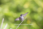 01162-13301 Ruby-throated Hummingbird (Archilochus colubris) in hummingbird garden, Marion Co., IL