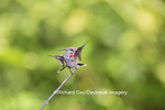 01162-13302 Ruby-throated Hummingbird (Archilochus colubris) in hummingbird garden, Marion Co., IL