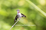 01162-13303 Ruby-throated Hummingbird (Archilochus colubris) in hummingbird garden, Marion Co., IL