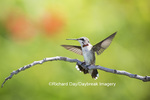 01162-13220 Ruby-throated Hummingbird (Archilochus colubris) in hummingbird garden, Marion Co., IL