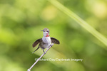 01162-13304 Ruby-throated Hummingbird (Archilochus colubris) in hummingbird garden, Marion Co., IL