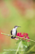 01162-13307 Ruby-throated Hummingbird (Archilochus colubris) in hummingbird garden, Marion Co., IL