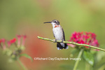 01162-13308 Ruby-throated Hummingbird (Archilochus colubris) in hummingbird garden, Marion Co., IL