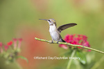 01162-13309 Ruby-throated Hummingbird (Archilochus colubris) in hummingbird garden, Marion Co., IL