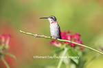 01162-13310 Ruby-throated Hummingbird (Archilochus colubris) in hummingbird garden, Marion Co., IL