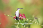 01162-13311 Ruby-throated Hummingbird (Archilochus colubris) in hummingbird garden, Marion Co., IL
