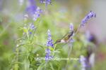01162-13312 Ruby-throated Hummingbird (Archilochus colubris) at Salvia farinacea Blue Victoria, Marion Co., IL