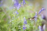 01162-13313 Ruby-throated Hummingbird (Archilochus colubris) at Salvia farinacea Blue Victoria, Marion Co., IL