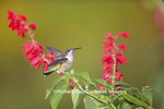 01162-13315 Ruby-throated Hummingbird (Archilochus colubris) at Salvia splendens Faye Chappell, Marion Co., IL
