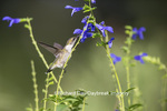 01162-13317 Ruby-throated Hummingbird (Archilochus colubris) at Salvia guaranitica Blue Ensign, Marion Co., IL