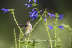 01162-13318 Ruby-throated Hummingbird (Archilochus colubris) at Salvia guaranitica Blue Ensign, Marion Co., IL