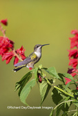 01162-13320 Ruby-throated Hummingbird (Archilochus colubris) at Salvia splendens Faye Chappell, Marion Co., IL
