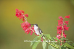01162-13401 Ruby-throated Hummingbird (Archilochus colubris) at Salvia splendens Faye Chappell, Marion Co., IL