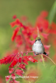 01162-13403 Ruby-throated Hummingbird (Archilochus colubris) at Salvia splendens Faye Chappell, Marion Co., IL