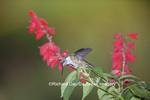 01162-13405 Ruby-throated Hummingbird (Archilochus colubris) at Salvia splendens Faye Chappell, Marion Co., IL