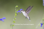 01162-13407 Ruby-throated Hummingbird (Archilochus colubris) at Salvia guaranitica Blue Ensign, Marion Co., IL