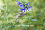 01162-13513 Ruby-throated Hummingbird (Archilochus colubris) at Salvia guaranitica Blue Ensign Marion Co. IL
