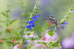 01162-13514 Ruby-throated Hummingbird (Archilochus colubris) at Salvia guaranitica Blue Ensign Marion Co. IL