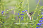 01162-13516 Ruby-throated Hummingbird (Archilochus colubris) at Salvia guaranitica Blue Ensign Marion Co. IL