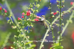 01162-13518 Ruby-throated Hummingbird (Archilochus colubris) at Salvia subrotunda Hummingbird's Salvia Marion Co. IL
