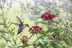 01162-13603 Ruby-throated Hummingbird (Archilochus colubris) at Pentas lanceolata Ruby Glow Marion Co. IL
