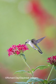 01162-13607 Ruby-throated Hummingbird (Archilochus colubris) at Pentas lanceolata Ruby Glow Marion Co. IL