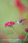 01162-13608 Ruby-throated Hummingbird (Archilochus colubris) at Pentas lanceolata Ruby Glow Marion Co. IL