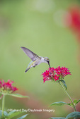 01162-13609 Ruby-throated Hummingbird (Archilochus colubris) at Pentas lanceolata Ruby Glow Marion Co. IL