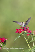 01162-13611 Ruby-throated Hummingbird (Archilochus colubris) at Pentas lanceolata Ruby Glow Marion Co. IL