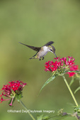 01162-13612 Ruby-throated Hummingbird (Archilochus colubris) at Pentas lanceolata Ruby Glow Marion Co. IL