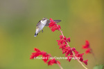 01162-13613 Ruby-throated Hummingbird (Archilochus colubris) at Salvia splendens Faye Chappell Marion Co. IL