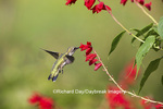 01162-13614 Ruby-throated Hummingbird (Archilochus colubris) at Salvia splendens Faye Chappell Marion Co. IL
