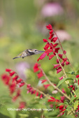 01162-13616 Ruby-throated Hummingbird (Archilochus colubris) at Salvia splendens Faye Chappell Marion Co. IL