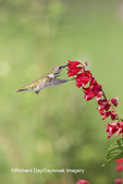 01162-13617 Ruby-throated Hummingbird (Archilochus colubris) at Salvia splendens Faye Chappell Marion Co. IL