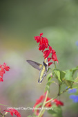 01162-13618 Ruby-throated Hummingbird (Archilochus colubris) at Salvia splendens Faye Chappell Marion Co. IL