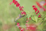 01162-13619 Ruby-throated Hummingbird (Archilochus colubris) at Salvia splendens Faye Chappell Marion Co. IL