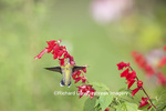 01162-13620 Ruby-throated Hummingbird (Archilochus colubris) at Salvia splendens Faye Chappell Marion Co. IL
